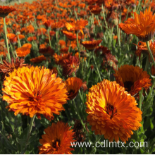 Hot sale reasonable price for Flower Seeds High quality Calendula Officinalis (marigold) seeds export to Eritrea Manufacturers